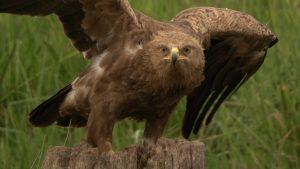 Filmaufnahmen des Schreiadlers - Tierfilmer Jens Klingebiel