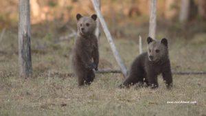 Tierfilmer und Naturfilmer Jens Klingebiel - wilde Braunbären in Finnland