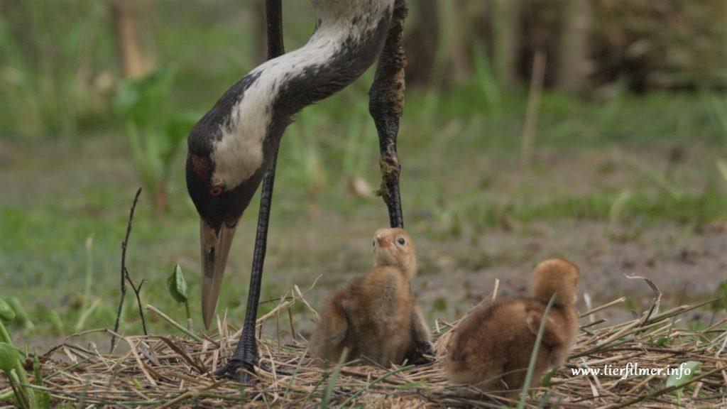 Kranichefamilie von Tierfilmer Jens Klingebiel