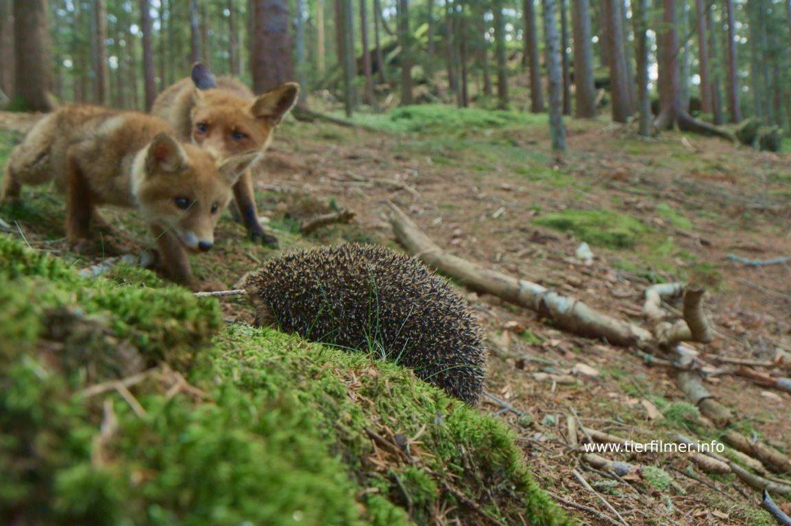Der kleine Fuchs entdeckt die Welt, Jens Klingebiel