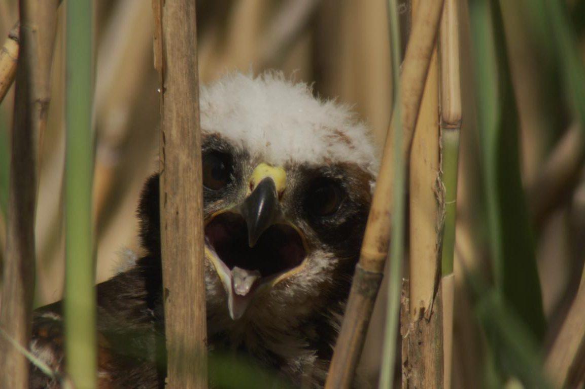Rohrweihenküken, aus dem Film Moldau-der goldene Fluss, Kamera Jens Klingebiel